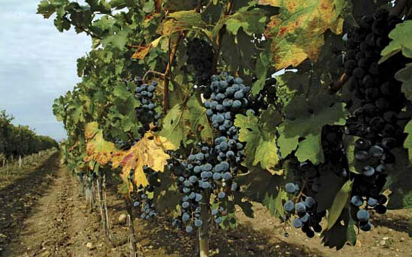 Fall Harvest in the Vineyards