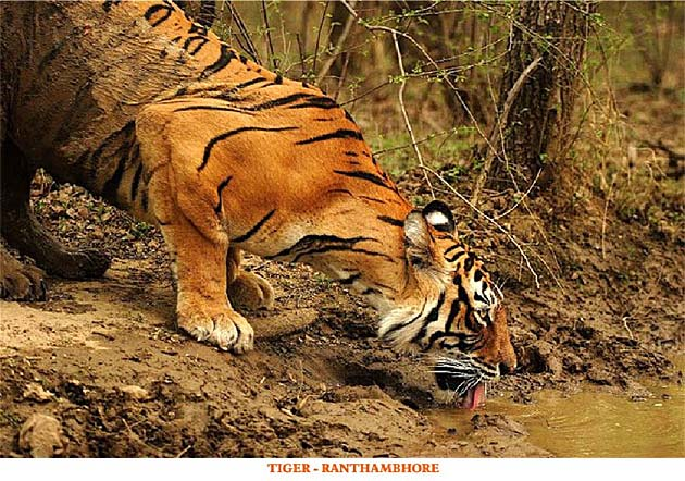 Tiger - Ranthambhore