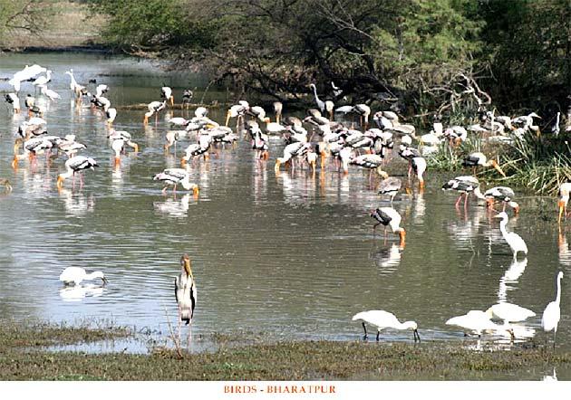 Birds - Bharatpur