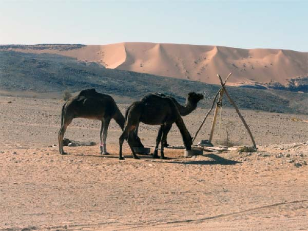 Camels in the desert, Morocco